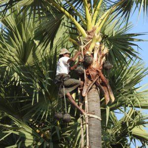 toddy palm tree bagan myanmar