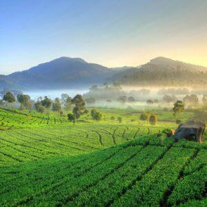tea plantation in bandung