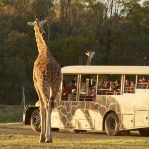 three giraffes near a safari tour bus