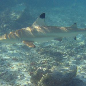 Reef Shark Snorkeling Eco Tour