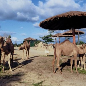Camel A'Famosa Safari Wonderland Melaka