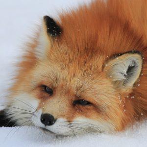 fox in japan