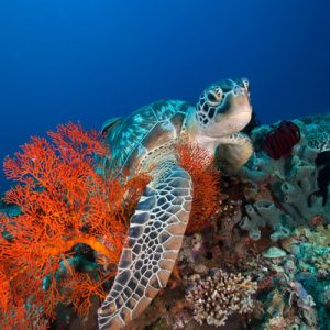 sea turtle in gili islands