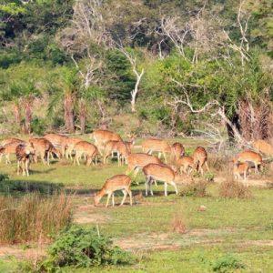 deers in sri lanka