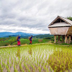 rice paddy in chiang mai