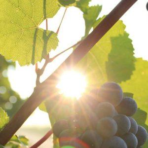 grapes at Grover Zampa Vineyards
