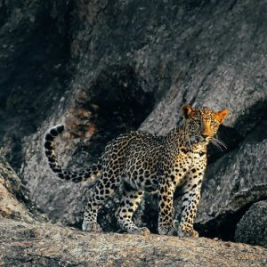 leopard inside the cave