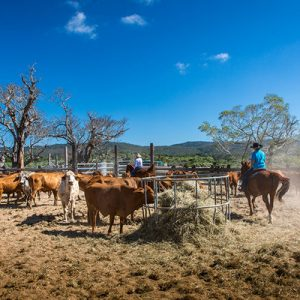 kur world cow pasture