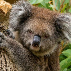 adelaide zoo koala