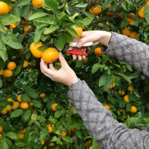 woman picking oranges in Chikura orange center