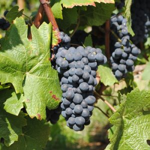 picture of grapes in burgundy