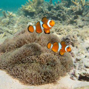 clown fish in malaysia