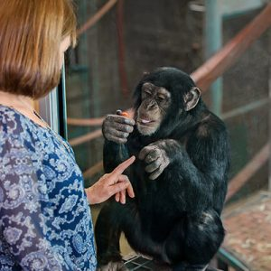 meet the chimps monarto zoo