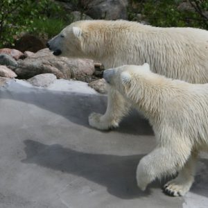venus and manasse, the polar bear couple