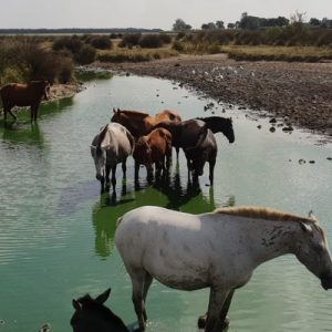 group of horses in the middle of a body of water in a marshland