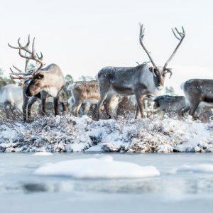 a herd reindeers