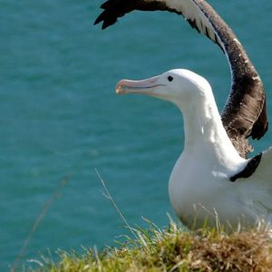 royal albatross centre tour dunedin new zealand