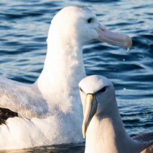 Kaikoura Albatross Encounter