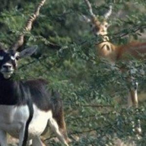 bishnoi village safari