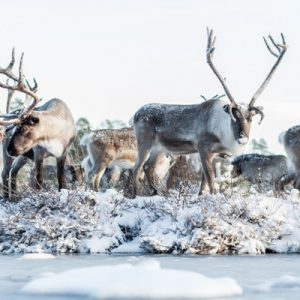 reindeer in rovaniemi