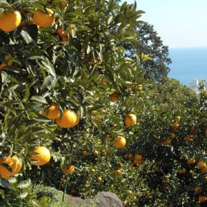 orange trees of suzuki orchards