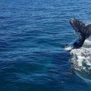 all sea charter boat with tail of whale in australia