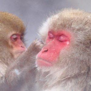 two monkeys bathing in hot spring at Jugokudani Snow Monkey Park in nagano