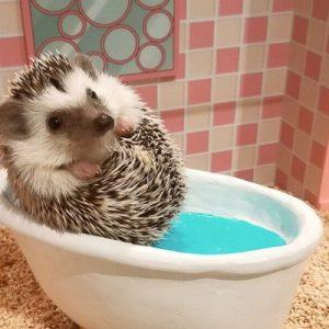 Hedgehog Home and Café in Naha - Cute Hedgehog Experience