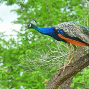 picture of a peacock on a tree in yala national park