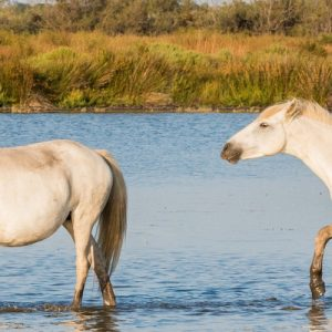 two horses roaming around Camargue