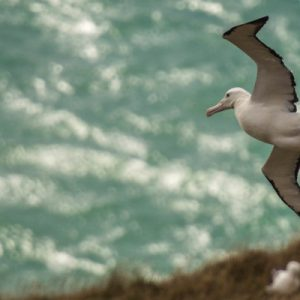 royal albatross Otago Peninsula Natures Wonders