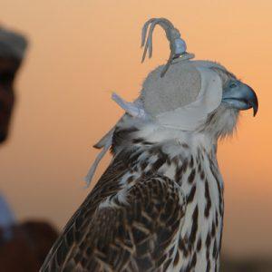 迪拜沙漠猎鹰表演