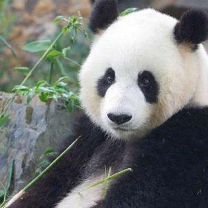阿得雷德动物园熊猫