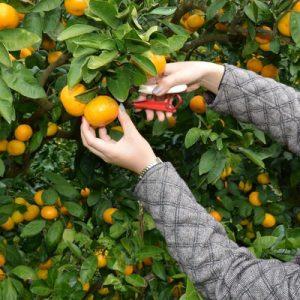 在千仓橙子中心采摘橙子的女孩