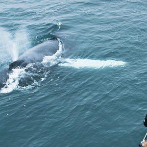 夏尔泰里观鲸