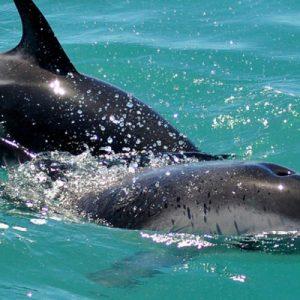 凯库拉海豚