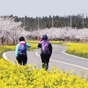 济州岛赏樱