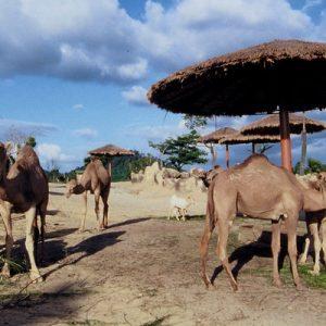 爱化摩沙野生动物园骆驼