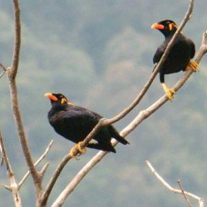 兰卡威观鸟之旅