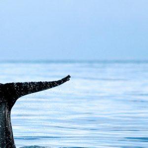 胡萨维克传统观鲸