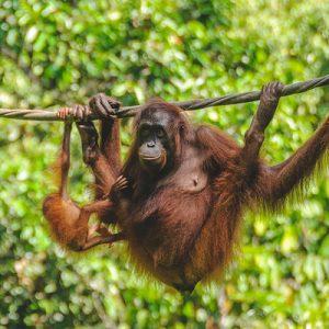 近距离接触红毛猩猩