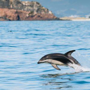 贺氏矮海豚