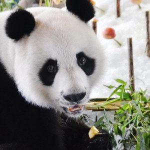 清迈动物园熊猫